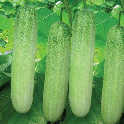 cucumber-westerngreen