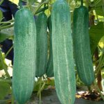 cucumber award