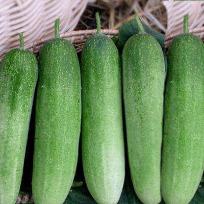 cucumber-golderngreen